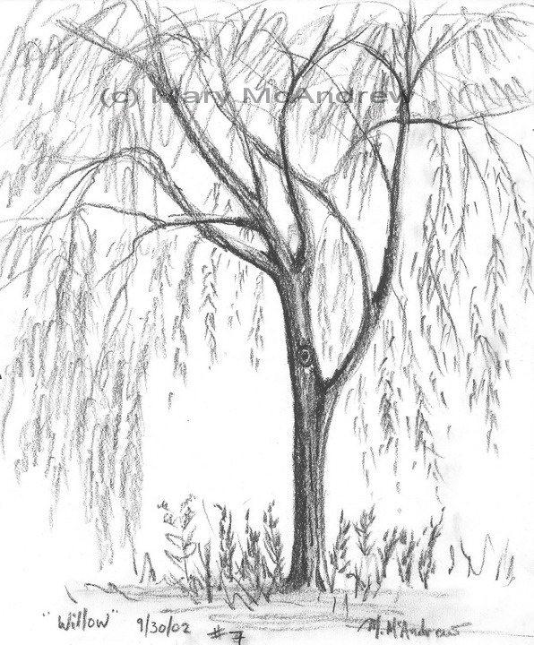 Old Willow Tree Drawing 7 Willow Toronto