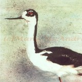 """Black Necked Stilt"""