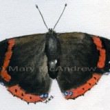 """""""Red Admiral Butterfly"""""""