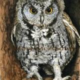 """Screech Owl"""