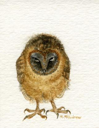"""Young Ashy Faced Barn Owl"""