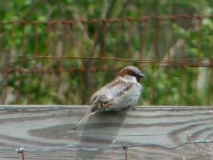 house-sparrow-m