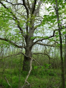 old-oak