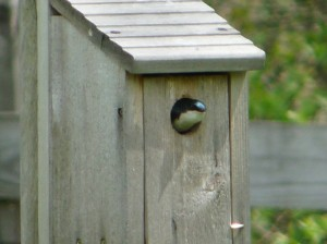 tree-swallow-in-box