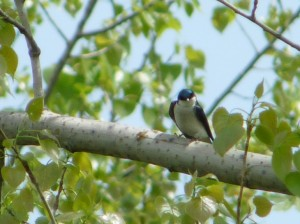 tree-swallow-on-branch