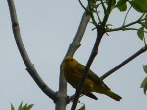 yellow-warbler-4