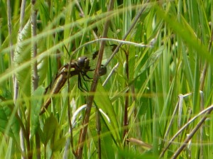 12 Spotted Skimmer Dragonfly