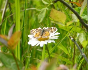 Butterfly on a Daisey