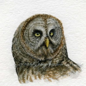 Great Grey Owl -stage 3
