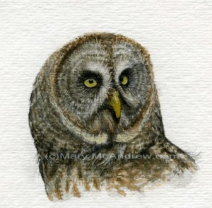 Great Grey Owl -stage 4