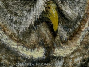 Great Grey Owl close up detail stage 4