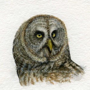 Great Grey Owl -stage 5