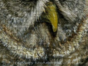 Great Grey Owl close up detail stage 5