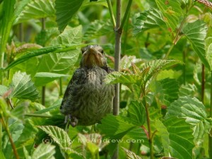 Song Sparrow Fledgling re