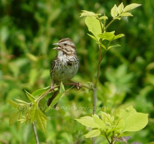 Male Song Sparrow-warning call