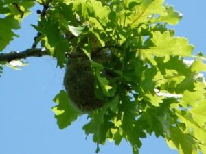 oriole-nest