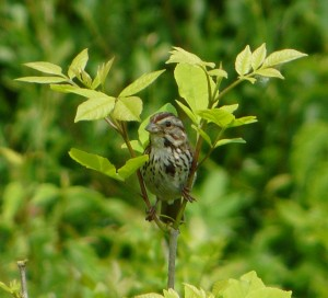 Song Sparrow Male Watching Me