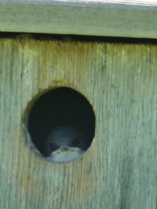 tree-swallow-youngster