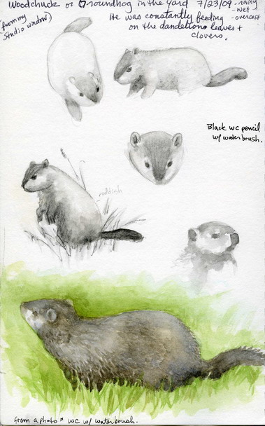 Woodchuck studies