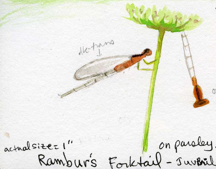 Rambur's Forktail Damselfly