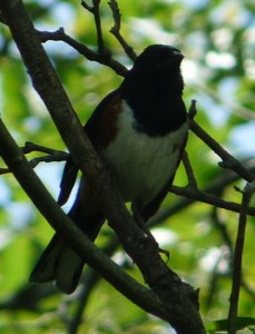 Rufus Sided Towhee (m)