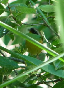 yellow-throat-2-cr