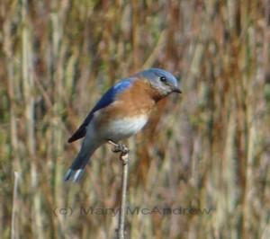 Blue Bird 4-18-2010