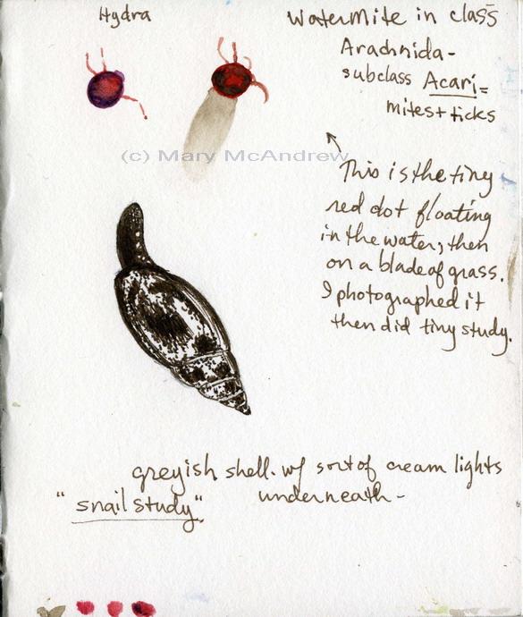 """Water Mite + Snail Study"" 4-23-2010"