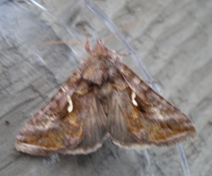 Common Looper Moth top view