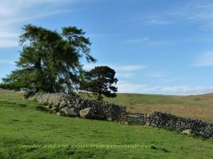 Ingram Valley-old stone wall and some lone Scotts Pines