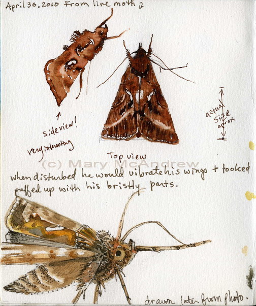 """Common Looper Moth Studies"""