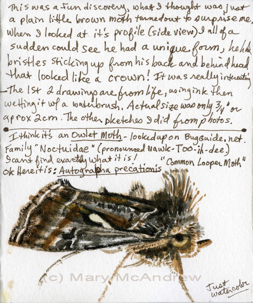 Common Looper Moth study with notes