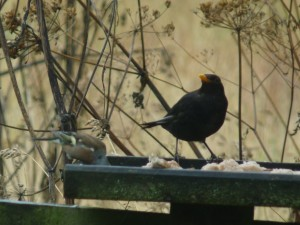 Blackbird male