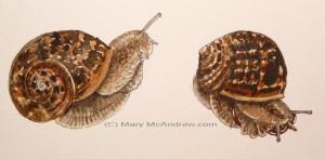 big snail stage 4