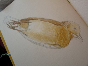 Watercolor study of Female Blackbird-stage 1