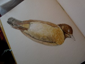 Watercolor study of Female Blackbird-stage 2