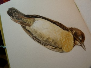 Watercolor study of Female Blackbird-stage 3