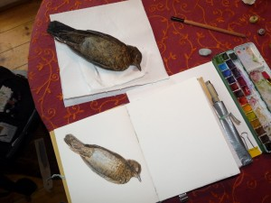Watercolor study with Blackbird