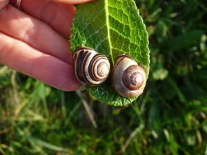 Brown Lipped Snails