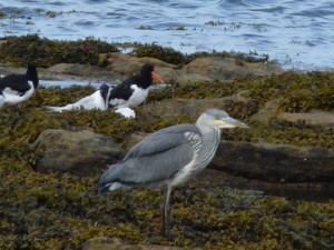 Grey Heron and Oyster Catcher