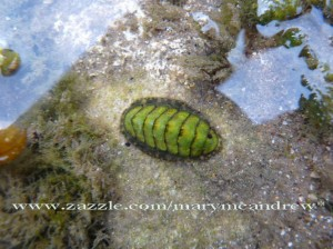 Green Chiton in the water