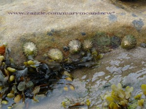 Limpets along a rock