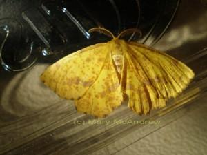 c Crocus Geometer 1 300x225 Crocus Geometer Moth