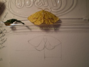c small painting sketch 300x225 Crocus Geometer Moth