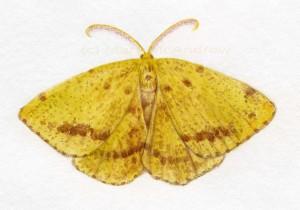 cCrocus Geometer cr1 300x210 Crocus Geometer Moth