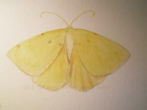cCrocus Geometer lg wc 300x225 Crocus Geometer Moth