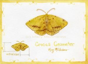 cCrocus Geometer1 300x217 Crocus Geometer Moth