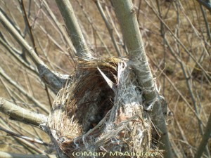cbirds nest in winter 3 300x225 A Winter Birds Nest