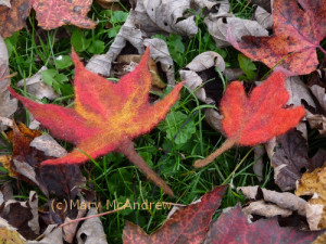 Two Maple leaves I made into felt from wool.
