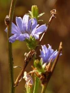 Such beauty in a much overlooked wildflower, Chicory.